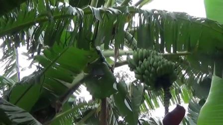 非洲也有烙饼?人们用假香蕉做美食,数千万人都在吃