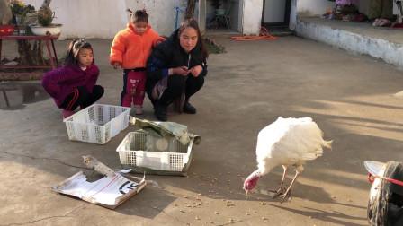 农村媳妇288元买10斤火鸡,养到过年再杀了吃,看着比白鹅还要大