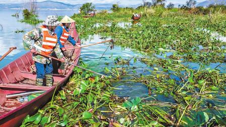 入侵中国的几十年的水葫芦,为何莫名其妙就消失?老外:值得借鉴