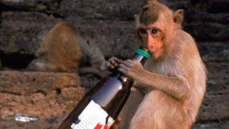 男子动物园作弄猴子,给猴子和好几罐啤酒,下一秒猴子倒地不起