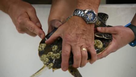 海龟满身都是寄生虫的生物,只能拿刀撬掉,它们如何生存