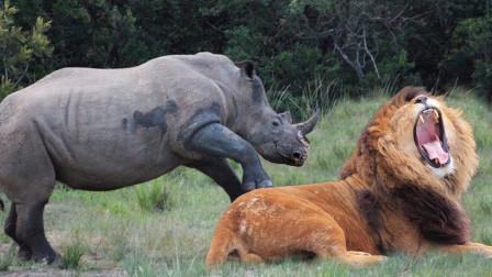 800斤雄狮咬住小犀牛不松口,犀牛妈怒把狮子踩脚下,镜头拍下全过程
