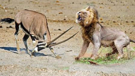 两只狮子扑倒羚羊,突然发现不对劲赶忙逃窜,羚羊:你过来啊