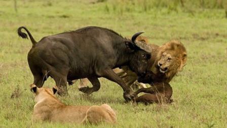 为什么狮子捕食野牛时,野牛不反抗?看完恍然大悟