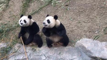 感情再好的熊猫兄妹,在美食面前都白瞎!