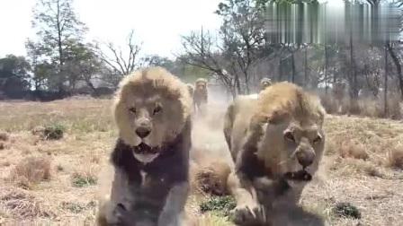 雄狮面对美食,诠释了什么才叫锐不可当