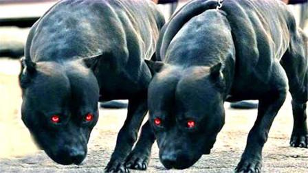 世界上3种最危险的狗!攻击能力秒杀藏獒,看见赶快逃命吧