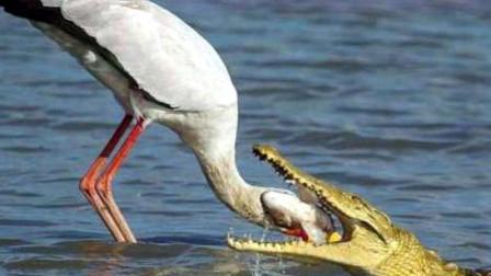 鳄鱼最大的天敌,饿了连同伴都吃,却对人类异常友好!