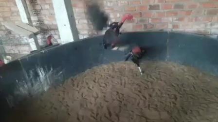 1280号前途无量小嫩黑红鸡6.6斤,这是第一段视频,功夫高头两边管鸡,功夫好,速度快,重腿拐打肩甲打背,打腿重伤鸡透骨,点位杀伤一流,喜欢联系