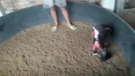 1280号前途无量小嫩黑红鸡6.6斤,这是第三段视频,功夫高头两边管鸡,功夫好,速度快,重腿拐打肩甲打背,打腿重伤鸡透骨,点位杀伤一流,喜欢联系