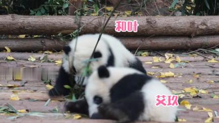 熊猫和叶:团子是猴子变的,上窜下跳就没停过
