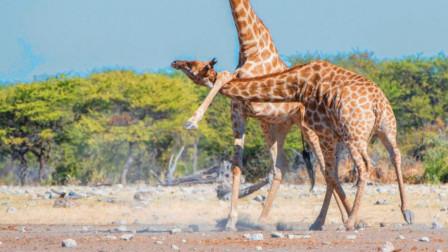 将头当成流星锤,长颈鹿对自己怎么这么狠?不会摇出脑震荡吗?