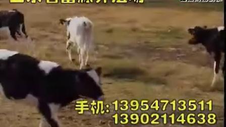 奶牛牛犊的饲养管理视频
