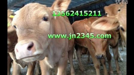 黄牛养殖技术黄牛价格视频