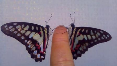 蝴蝶折纸步骤图解平面