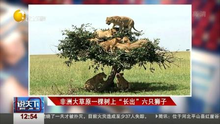 """非洲大草原一棵树上""""长出""""六只狮子 说天下 20171225 高清版"""