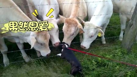 跨越种族的爱恋!狗狗与牛隔网热吻好害羞
