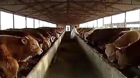 农村养牛|养牛技术|养牛|肉牛养殖成本利润视频