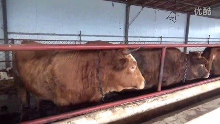 适合南方山区养殖的肉牛品种,哪里有卖肉牛犊的?视频