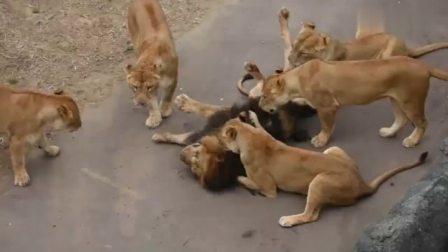 一头雄狮被5只母狮围着,当大家觉得雄狮幸福时,看到一半就傻眼了
