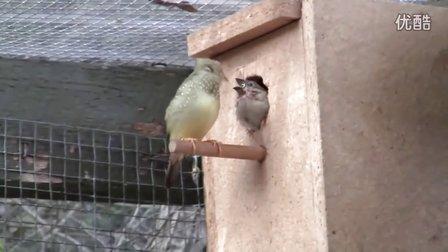 星文鳥自孵卵自育雛視頻