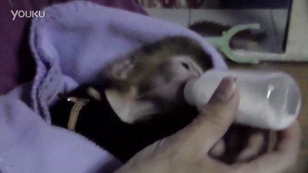 可爱萌猴 袖珍猴 宠物猴 迷你猴 至尊宝 猴子 小猴子