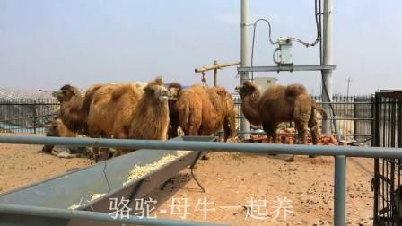 东北黄牛肉牛西门塔尔小牛犊,吉林黄牛养殖专业合作社视频