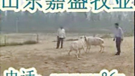 小尾寒羊�B殖山�|正��B�庀⒀蚧�地育肥羊�r格��l