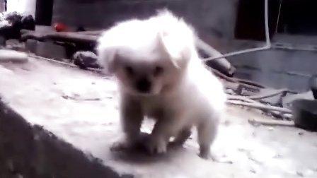 可爱小狗狗下不了楼梯叫主人