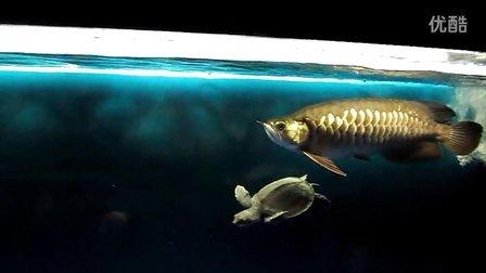 我的金龙鱼