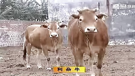 《CCTV7农广天地》肉牛养殖技术视频