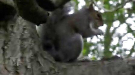 小松鼠吃饼干 爱丁堡植物园