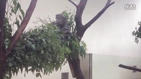 考拉吃桉树叶挠痒痒