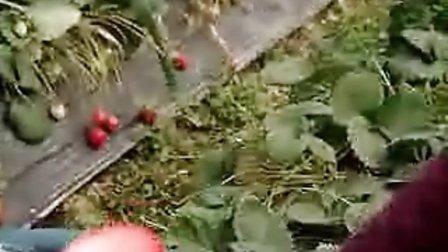 心空老师-丝网花草莓的制作方法