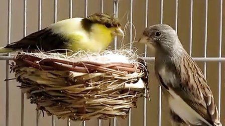 金絲雀育雛