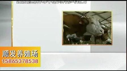 肉牛肉牛养殖技术西门塔尔牛养殖视频