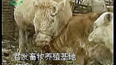 西门塔尔牛养殖技术,肉牛养殖技术视频