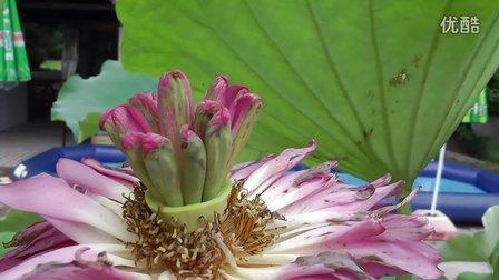 莲花盆的折法步骤图解 视频
