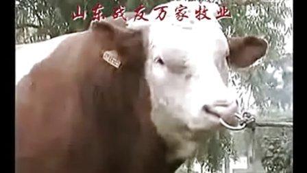 山东肉牛品种肉牛技术肉牛饲养方法视频