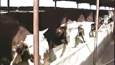 养牛技术养牛养牛成本利润视频