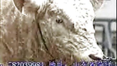 山东省心诚牧业肉牛波尔山羊养殖技术视频