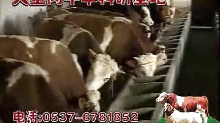 肉牛养牛技术养牛场如何养牛养牛基地视频