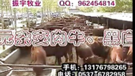 养牛利润怎样养牛前景肉牛犊价格波尔山羊养殖场养牛场牛舍羊舍育肥肉牛饲料配方视频