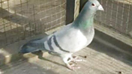 赛鸽种鸽欣赏视频 -赛鸽种鸽欣赏