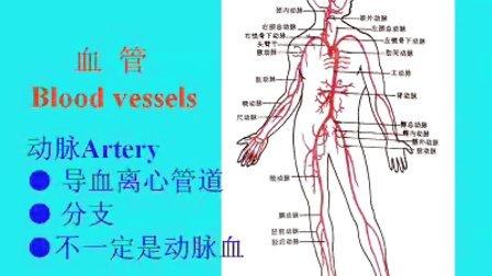 人体的肚子内部结构�_健康 人体解剖学