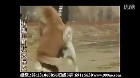 世界猛犬欣赏土耳其坎高犬之王打斗比赛照片视频