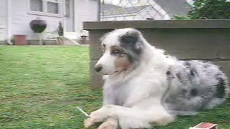 让人难以置信的视频~狗狗竟然也抽烟?