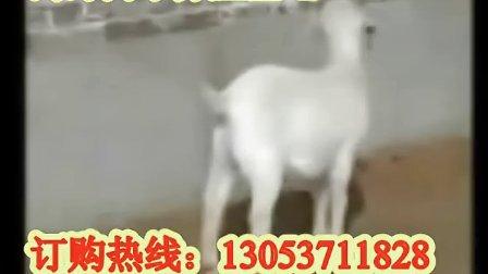 养羊技术,肉羊养殖,如何养殖波尔山羊视频