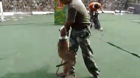 训犬师训犬【从小做起】 4个月斯塔夫咬合训练