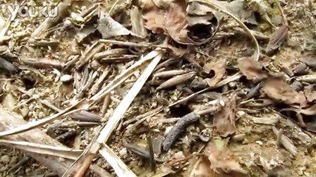 野外采集日本弓背蚁的过程